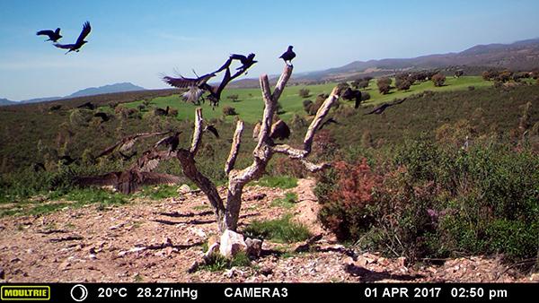 Buitres negros volando AMUS