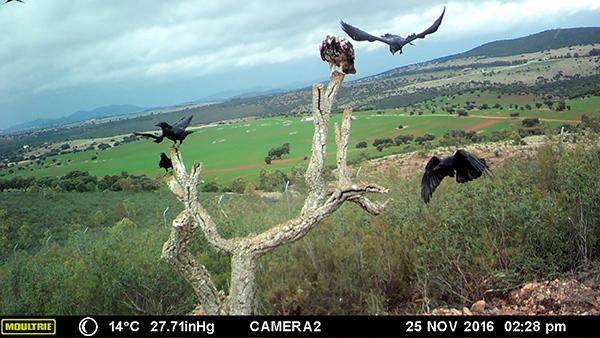 Cuervos e imperial