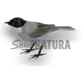CURRUCA CABECINEGRA (Sylvia melanocephala) Pájaro de PITA