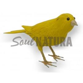CANARIO (Serinus canaria) Pájaro de PITA