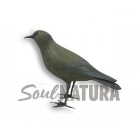 PETREL DE BULWER (Bulweria bulwerii) Pájaro de PITA