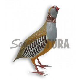 PERDIZ MORUNA (Alectoris barbara) Pájaro de Pita