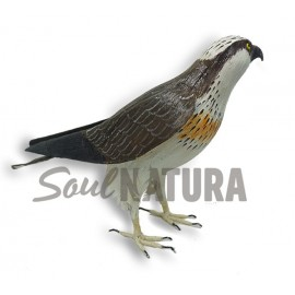 ÁGUILA PESCADORA (Pandion haliaetus) Pájaro de PITA